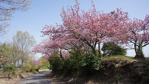 八重桜の名所1