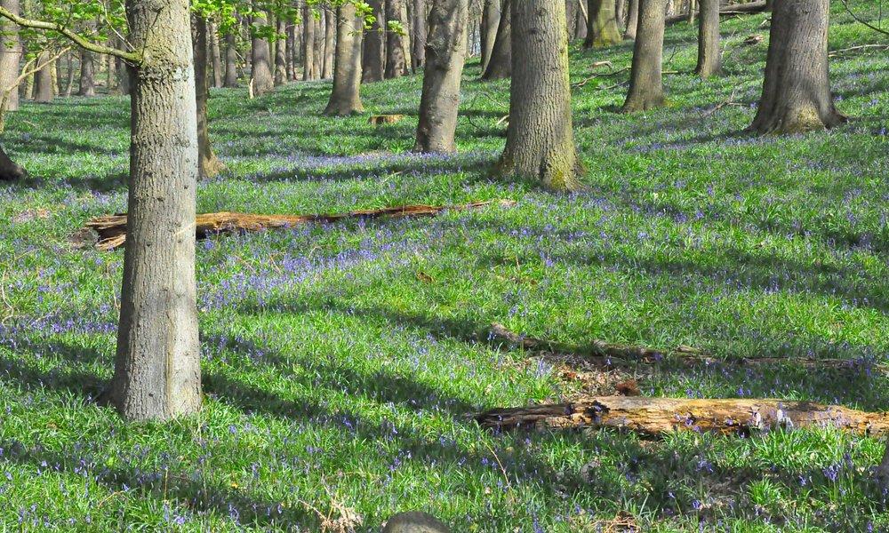 Mont Kemmel, face au bunker, jacinthes prêtes à créer un tapis bleu.
