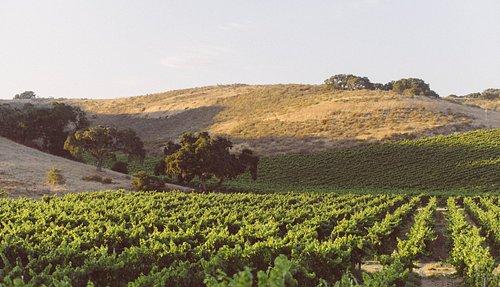 One of SAMsARA's stunning Santa Barbara County vineyards.