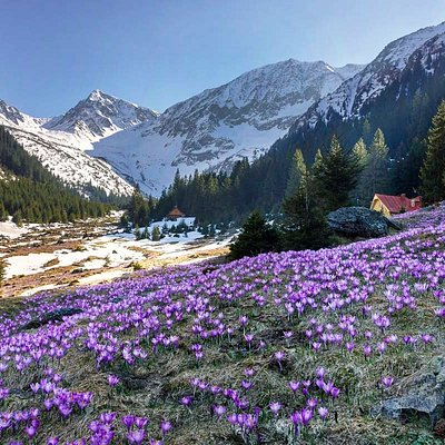 Fagaras mountains, Sambata valley, during the spring crocus blooming.