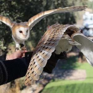 Magic & Molly the Barn owls generally showing off.