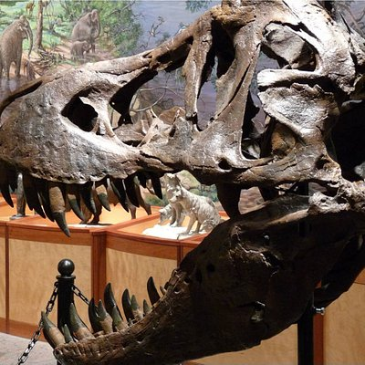 T-Rex Skull on display