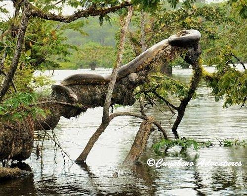 Giant Anaconda in Cuaybeno Adventures