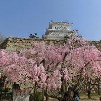 井戸のそばの枝垂れ桜が満開でした