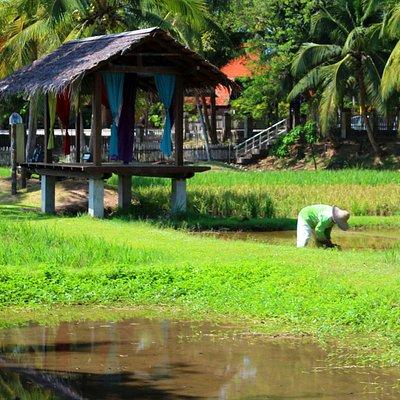 Langkawi: Laman Padi (Reisfeld und Museum)