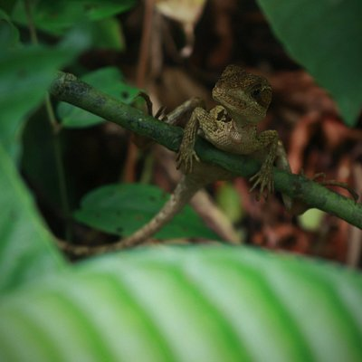 This is the Jesus Christ Lizard just one of the coolest animal of this amazing national park.