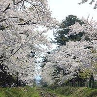 Sakuras overhanging both sides of railway tracks