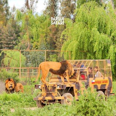 Safari de Grandes Felinos