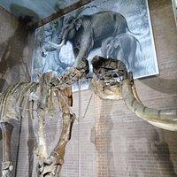 scheletro elefante
