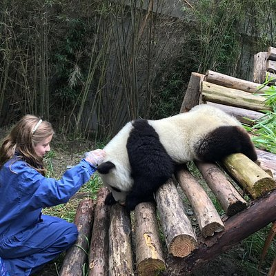 take pictures with pandas on Wolong  when  panda baby one years old