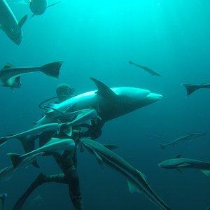 Walter Bernardis and The Sharks of Aliwal Shoal, South Africa