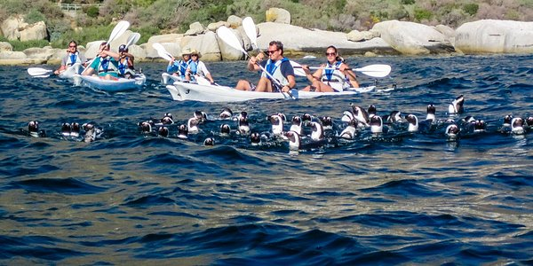 Penguins swimming near our kayaks