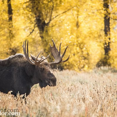 A Bull Moose in Jackson Hole in the Fall. 2017