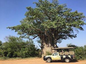 Our private safari through Kruger Park. Amazing!