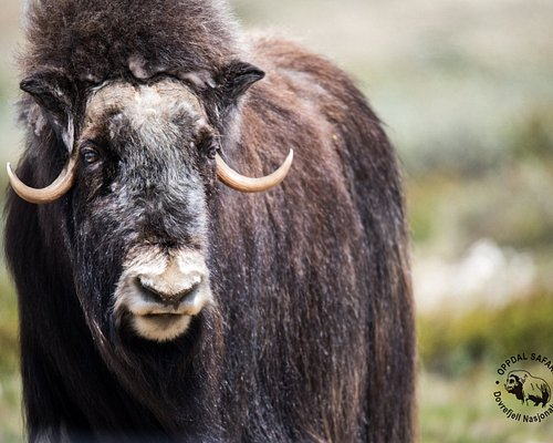 Our beloved musk ox