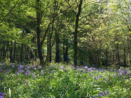 bluebells beauty
