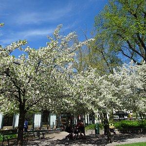 Blommande träd Berzelii park