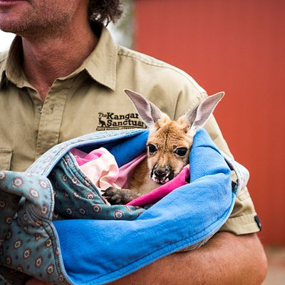 Orphan baby kangaroo Charlotte being cuddled by Brolga in her pillowcase pouch