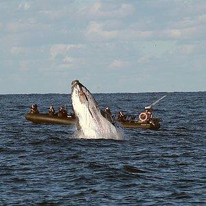Humpback breach close proximity