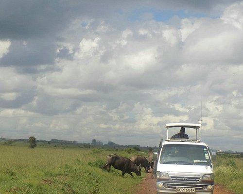 Buffaloes in Nairobi national park