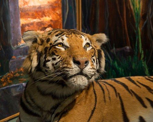 Rani, the Tigress