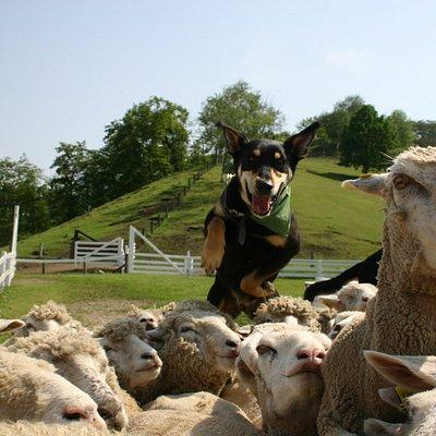 シープドッグショー 伊香保グリーン牧場一番お勧めのイベント 訓練された牧羊犬が放牧場に広がる100頭以上の羊の群れを集めてくる様子は圧巻です