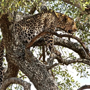 The leopard on a view for the prey at Serengeti National Park