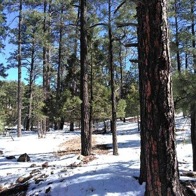 Large pine trees, probably Ponderosa or Douglas Fir