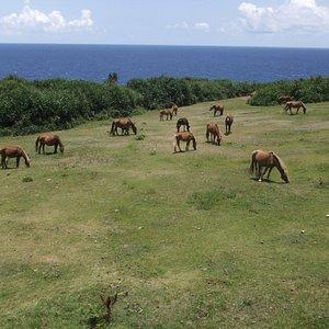 南牧場 与那国馬がたくさんいるが肋骨がくっきりしている