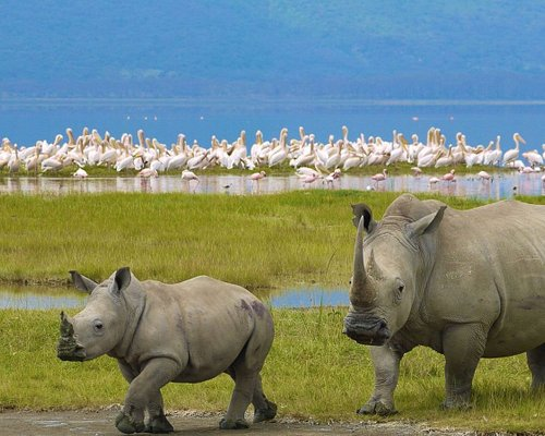 Nakuru National Park is home to black rhinos, water buffaloes, hippos and lions. Animals drink f