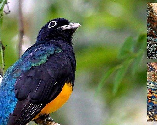 Pássaro Surucuá