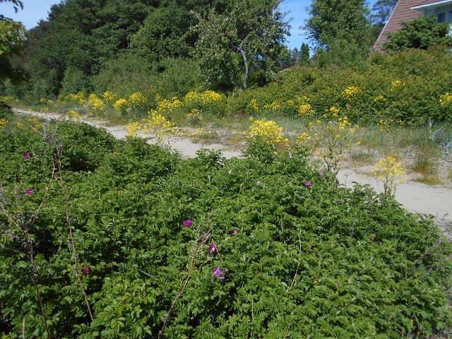 Vegetationen vid Viimsi beach.