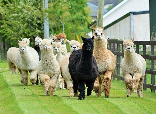 Our beautiful alpaca girls