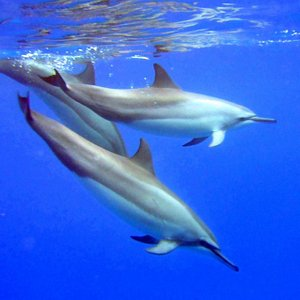 Swim with wild spinner dolphins in Kailua Kona Hawaii. Snorkel over reefs and view sea caves.