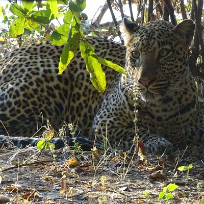 leopard South Luangwa National Park