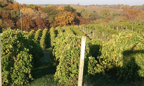 Our vineyard in the fall.
