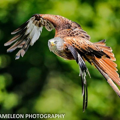 Scarlet - red kite