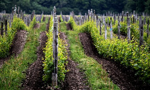Around The County, grapes prove to be a harbinger of spring