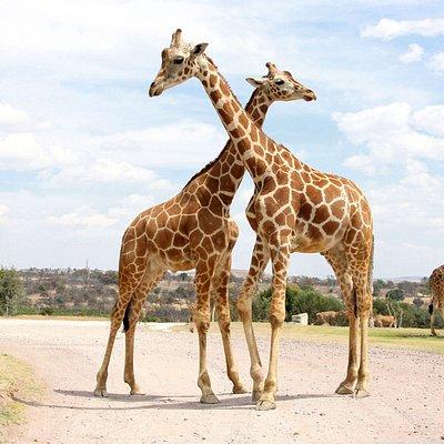 Jirafas cruzando el safari, Africam Safari