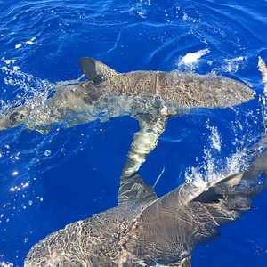 Sharks next to boat