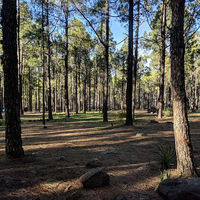 The Canarian pine forests are a world away from the resorts on the coast