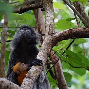 Getting up close to a Silver Leaf Langur and her infant at Bako with Borneo Ethical Adventures