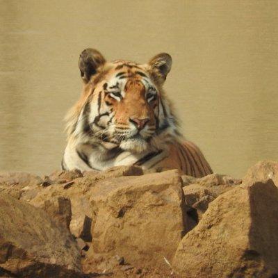 Male tiger in Tadoba