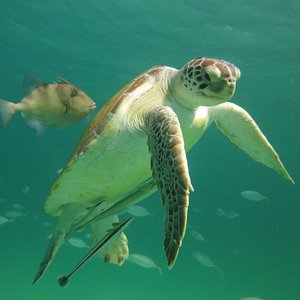 Resident green sea turtle and Trigger fish