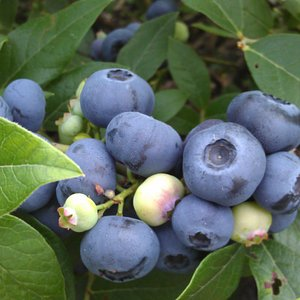 Delicious, nutritious blueberries!