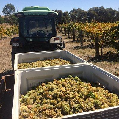 Harvest time The Wilson Vineyard