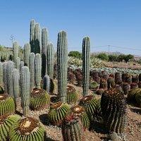 Cactus Thiemann