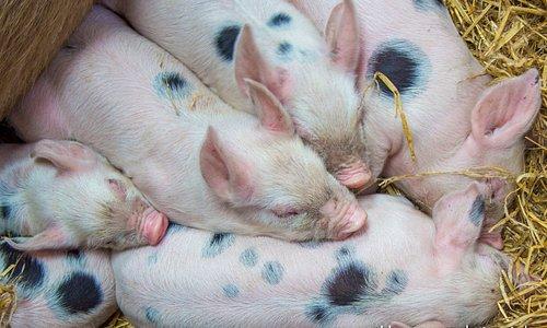 Baby piggys