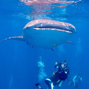 Whale shark at Anambas Islands, Indonesia
