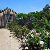 Roses looking toward the Barn
